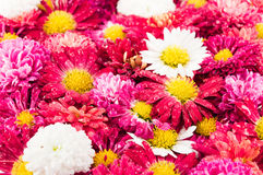 Chrysanthemums flowers background. Chrysanthemums flowers after the rain Stock Image