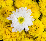Chrysanthemums flowers Royalty Free Stock Photography