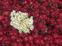 Chrysanthemums flowers. Beautiful flowers of chrysanthemums. Red and white Stock Image