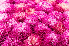 Chrysanthemums flowers. Close-up background Stock Images