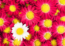 Chrysanthemums flowers. Close-up background Royalty Free Stock Image