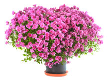 Chrysanthemums flowers in heart shape Stock Photography