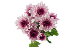 Chrysanthemums flowers Royalty Free Stock Image