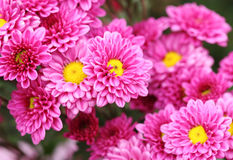 Chrysanthemums flowers Royalty Free Stock Image