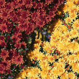 Chrysanthemums flowers Stock Images