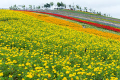 Chrysanthemums fower field with fence Stock Photos