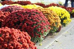 Chrysanthemums Stock Images