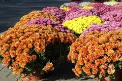 Chrysanthemums. Fresh, beautiful chrysanthemums in Poland Royalty Free Stock Image