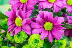 Chrysanthemums, fresh vibrant purple and green florist flowers. Royalty Free Stock Photos