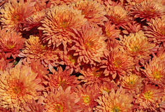 Chrysanthemums in garden Royalty Free Stock Images