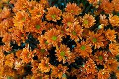 Chrysanthemums. Group of Orange Chrysanthemums flower Stock Photography