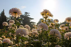 Chrysanthemums grows in garden Stock Image