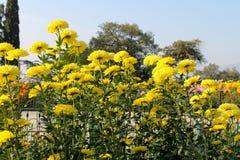 Chrysanthemums grows in garden Royalty Free Stock Photo