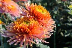 Chrysanthemums grows in garden Stock Photos