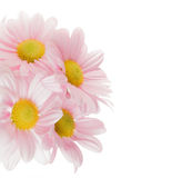 Chrysanthemums. High key image of four chrysanthemums with yellow centres isolated against a white background, space for text Royalty Free Stock Photos