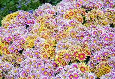 Chrysanthemums Indicum Flower Royalty Free Stock Images