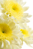 Chrysanthemums isolated. Fresh chrysanthemum flowers isolated on white Royalty Free Stock Images