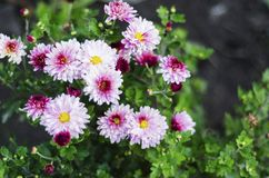 Chrysanthemums are now mostly grown as decorative. Plants, but there are some species that are used as a medicinal plant royalty free stock images