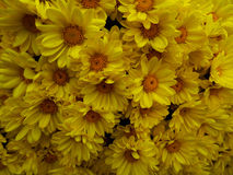 chrysanthemums pattern Royalty Free Stock Images