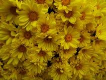 Chrysanthemums pattern Royalty Free Stock Images