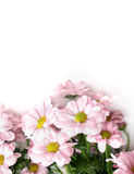 Chrysanthemums with pink petals Royalty Free Stock Images