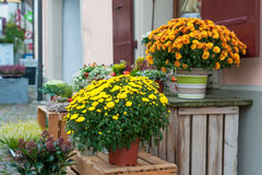 Chrysanthemums in pots Royalty Free Stock Images