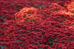 Chrysanthemums of red color. Colorful chrysanthemum autumn flower Stock Photos