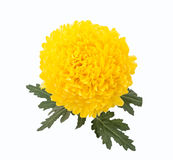 Chrysanthemums Rivalry. On white background Royalty Free Stock Image