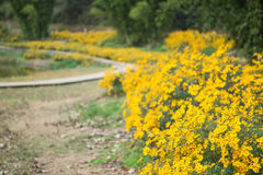 Chrysanthemums by the road Stock Images