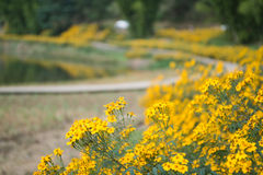 Chrysanthemums by the road Stock Photo