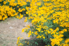 Chrysanthemums by the road Stock Photos
