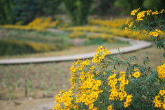 Chrysanthemums by the road Royalty Free Stock Photography