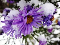 Chrysanthemums in a snow (golden-daisy) Stock Photo