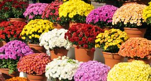 Free Chrysanthemums, Sometimes Called Mums Stock Images - 123948174