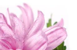 chrysanthemums stänger daggdroppar mycket Arkivfoton