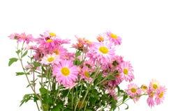 Chrysanthemums sur le blanc Image libre de droits