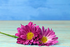 Chrysanthemums. Two pink Chrysanthemums on blue background,selective focus Stock Photography