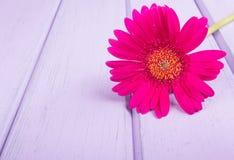 Chrysanthemums on violet planks Stock Photo