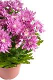 chrysanthemums vita isolerade lila krukar Royaltyfria Foton