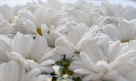 Chrysanthemums in water Stock Photography