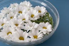 Chrysanthemums in water Stock Image