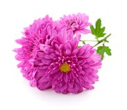 chrysanthemums white Στοκ εικόνα με δικαίωμα ελεύθερης χρήσης
