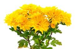 chrysanthemums white Στοκ Φωτογραφίες