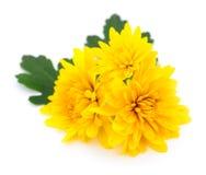chrysanthemums white Στοκ εικόνες με δικαίωμα ελεύθερης χρήσης