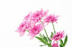 chrysanthemums white Στοκ Εικόνες