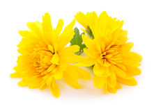 chrysanthemums white Στοκ Εικόνα