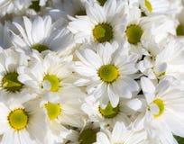 Chrysanthemums white closeup Stock Image