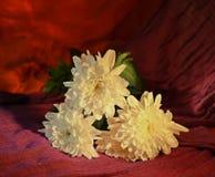 Chrysanthemums. White chrysanthemums on purple orange background Stock Photo