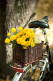Chrysanthemums in a wicker basket Royalty Free Stock Photography