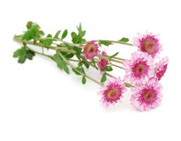 chrysanthemumsblomma Arkivbild
